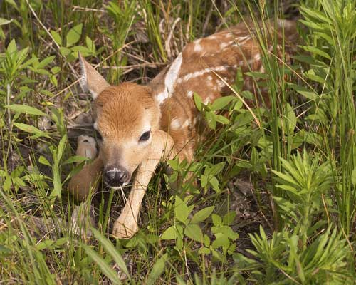 A whitetail deer fawn hides in high grass.