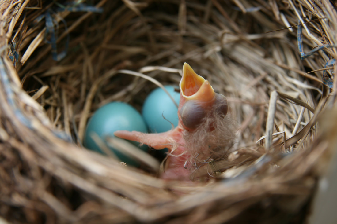A baby robin begs for food in the nest.
